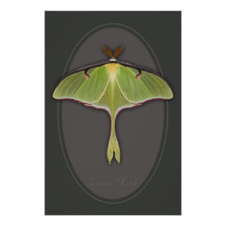 Luna Moth Poster -24x36 -other sizes available