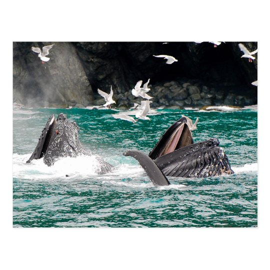 Lunging Humpback whales Postcard