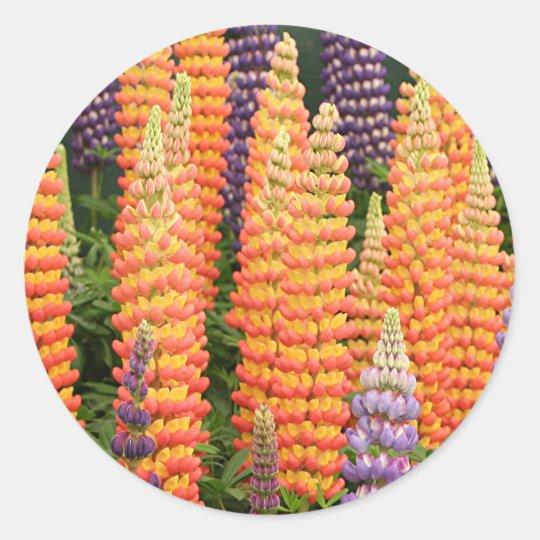 Lupin flowers in bloom round sticker
