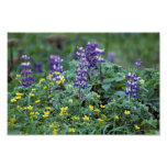 Lupine and Buttercups Poster