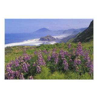 Lupine flowers and rugged coastline along photo