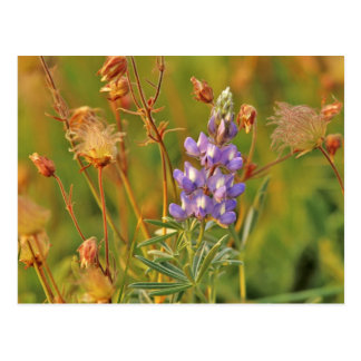 Lupine & Prairie Smoke wildflowers in Montana 2 Postcard