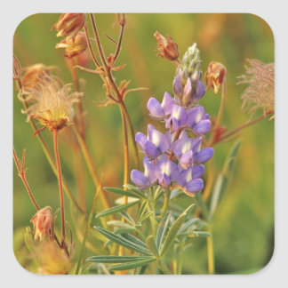 Lupine & Prairie Smoke wildflowers in Montana 2 Square Sticker