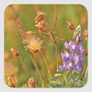 Lupine & Prairie Smoke wildflowers in Montana Square Sticker