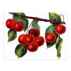 Luscious Sweet Cherries Postcard