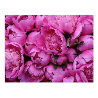 Lush Pink Peony Flowers Postcard