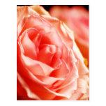 Lush Pink Rose Postcards