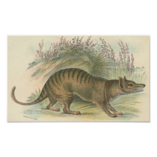 Lydekker - Thylacine - Tasmanian Tiger Portfolio Poster