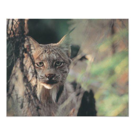 Lynx, Lynx canadensis, Denali National Park, Art Photo