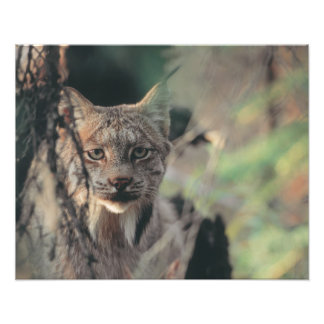 Lynx, Lynx canadensis, Denali National Park, Photo Print