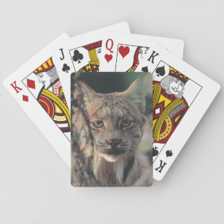 Lynx, Lynx canadensis, Denali National Park, Poker Deck