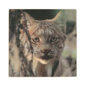 Lynx, Lynx canadensis, Denali National Park, Wood Coaster