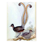 Lyre Bird Vintage Poster Post Cards