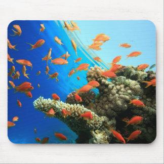 Lyretail anthias on coral reef mouse mat