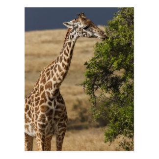 Maasai Giraffe (Giraffe Tippelskirchi) as seen 2 Postcard