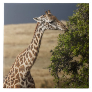 Maasai Giraffe (Giraffe Tippelskirchi) as seen 2 Tile