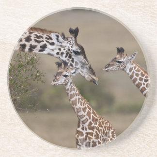 Maasai Giraffe (Giraffe Tippelskirchi) as seen Coaster