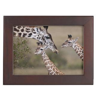 Maasai Giraffe (Giraffe Tippelskirchi) as seen Keepsake Box