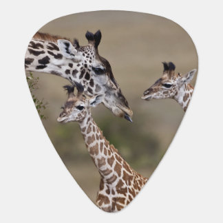 Maasai Giraffe (Giraffe Tippelskirchi) as seen Plectrum