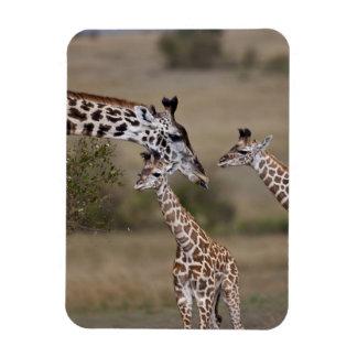 Maasai Giraffe (Giraffe Tippelskirchi) as seen Rectangular Magnet