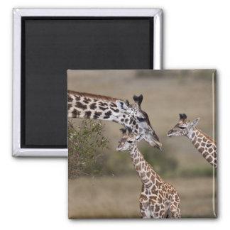 Maasai Giraffe (Giraffe Tippelskirchi) as seen Square Magnet
