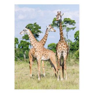 Maasai Giraffe Postcard