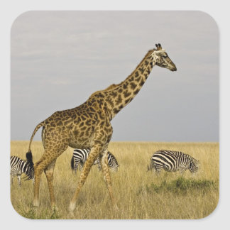 Maasai Giraffes roaming across the Maasai Mara 3 Square Sticker