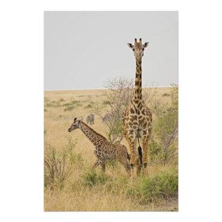 Maasai Giraffes roaming across the Maasai Mara Photo Print