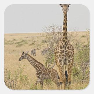 Maasai Giraffes roaming across the Maasai Mara Square Sticker