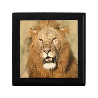 Maasai Mara National Reserve, Male Lion Gift Box