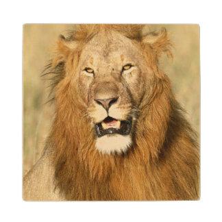 Maasai Mara National Reserve, Male Lion Wood Coaster