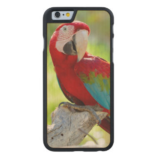 Macaw sitting on branch carved® maple iPhone 6 slim case