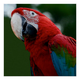 Macaw Up Close Poster