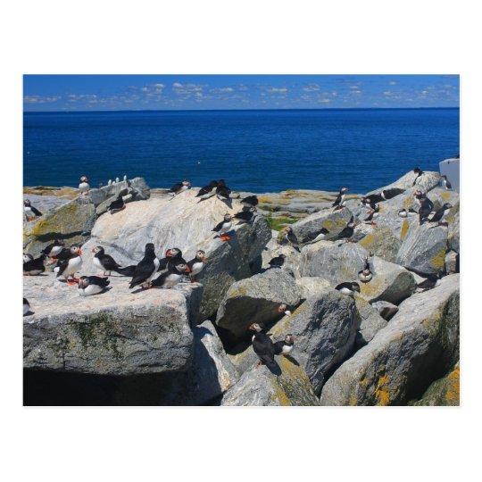 Machias Seal Island Atlantic Puffins Razorbills Postcard