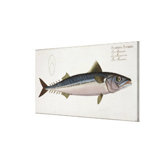 Mackerel (Scomber Scomber) plate LIV from 'Ichthyo Canvas Print