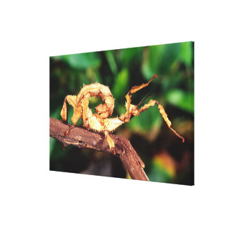 Macleay's Spectre (Spiney Stick Insect), Gallery Wrap Canvas