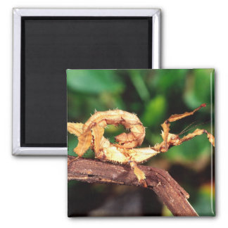 Macleay's Spectre (Spiney Stick Insect), Magnet