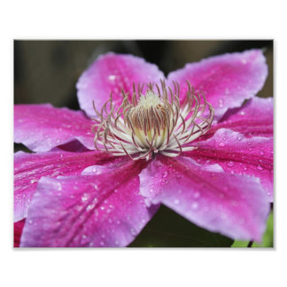 Macro Close Up of Pink Clematis Flower Photograph