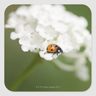 Macro image of a Ladybird on a wild flower Square Sticker