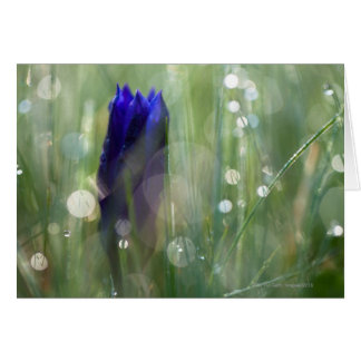 macro of gentian (Gentianella) with soft focus Greeting Cards