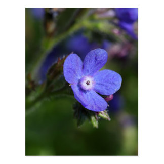 Macro photo of an Italian Bugloss Postcard