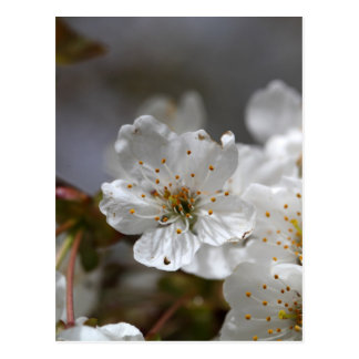 macro photo of cherry flowers postcard