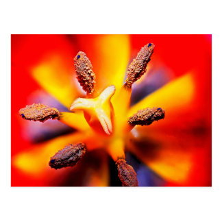 Macro Red and Yellow Tulip Photo Postcard