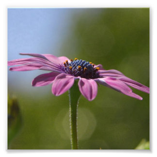 Macro Shot Of A Purple Osteospermum Photo Art