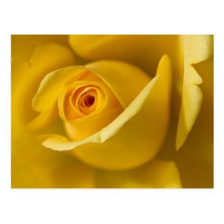 Macro Yellow Rose Postcard