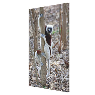 Madagascar Ankarafantsika Reserve Ampijoroa Gallery Wrapped Canvas