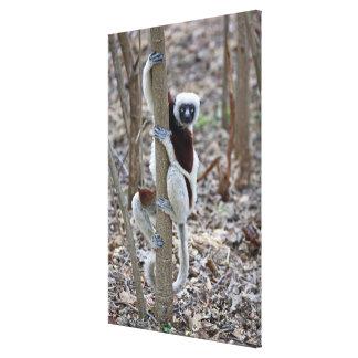 Madagascar, Ankarafantsika Reserve; Ampijoroa; Stretched Canvas Prints