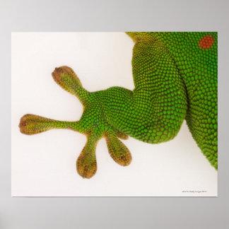 Madagascar day gecko (Phelsuma madagascariensis 2 Poster