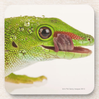 Madagascar day gecko (Phelsuma madagascariensis Coaster