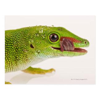 Madagascar day gecko (Phelsuma madagascariensis Postcard